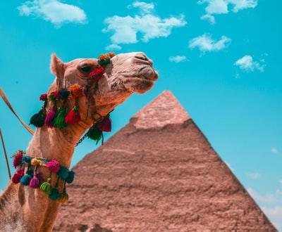 brown camel on brown sand under blue sky during daytime cairo teams background
