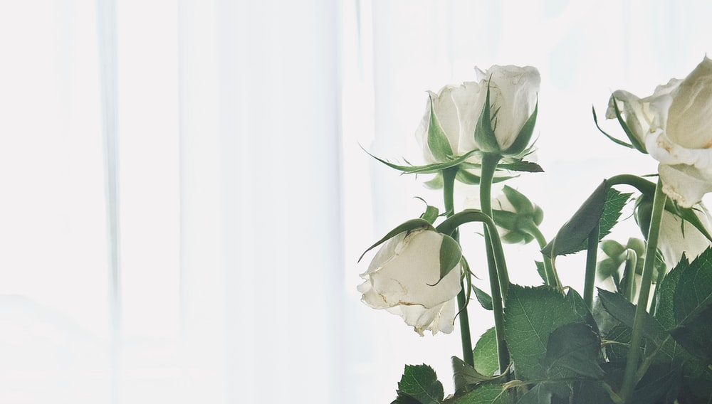 white roses in white background