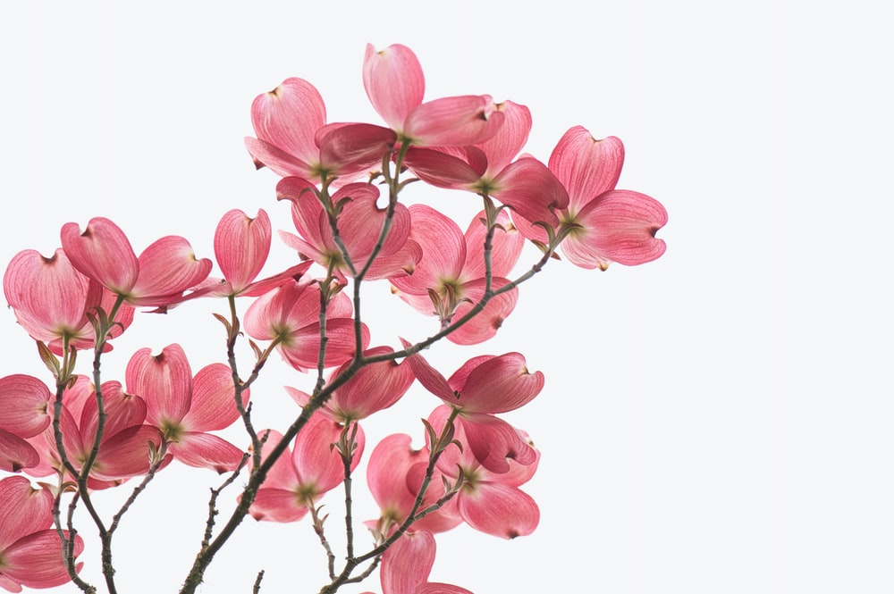 pink and white flower on white background