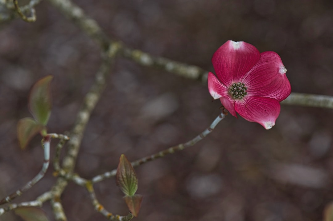 One lonely early Dogwood flower opening up in the spring.
