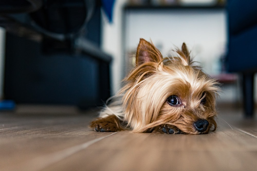 brown and black yorkshire terrier puppy on brown wooden floor