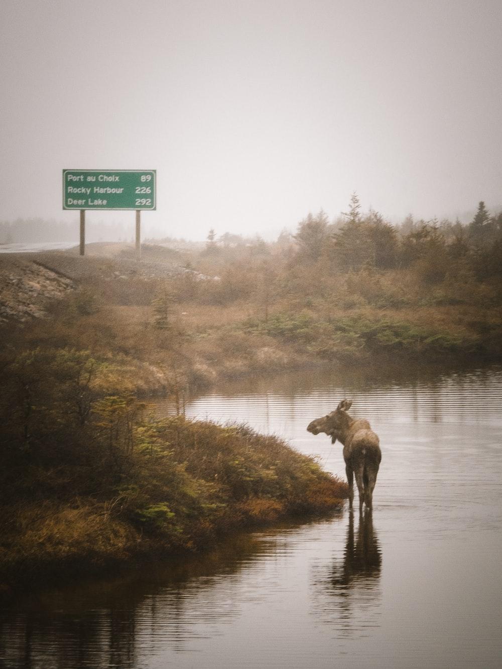 brown deer on river bank