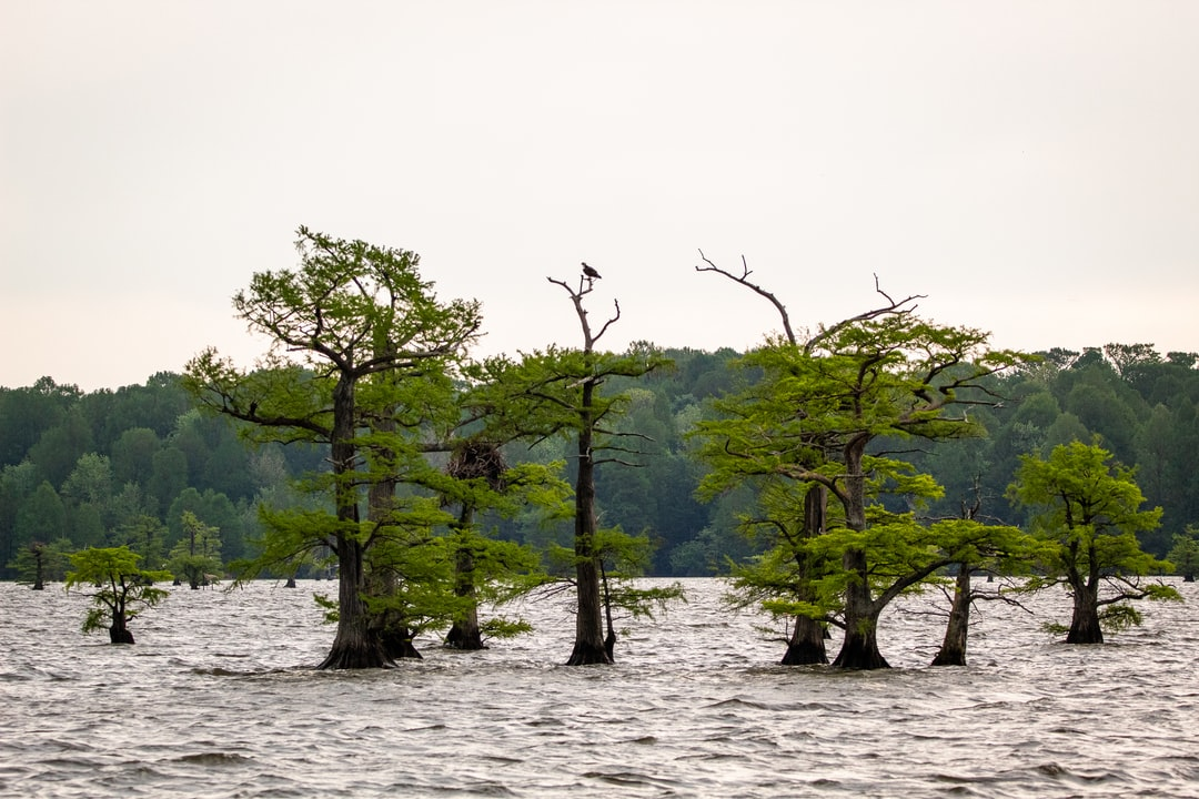 An osprey sits on the top of a cypress tree in Reelfoot Lake.