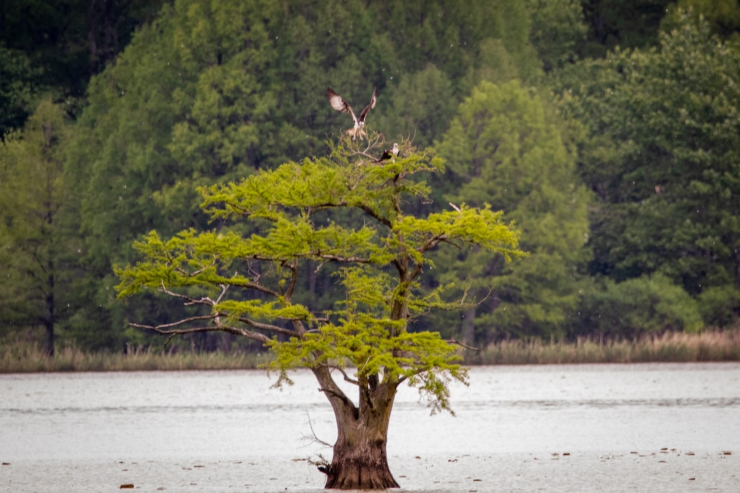 An osprey comes in for a landing alongside its mate at their nest in a cypress tree in Reelfoot Lake.