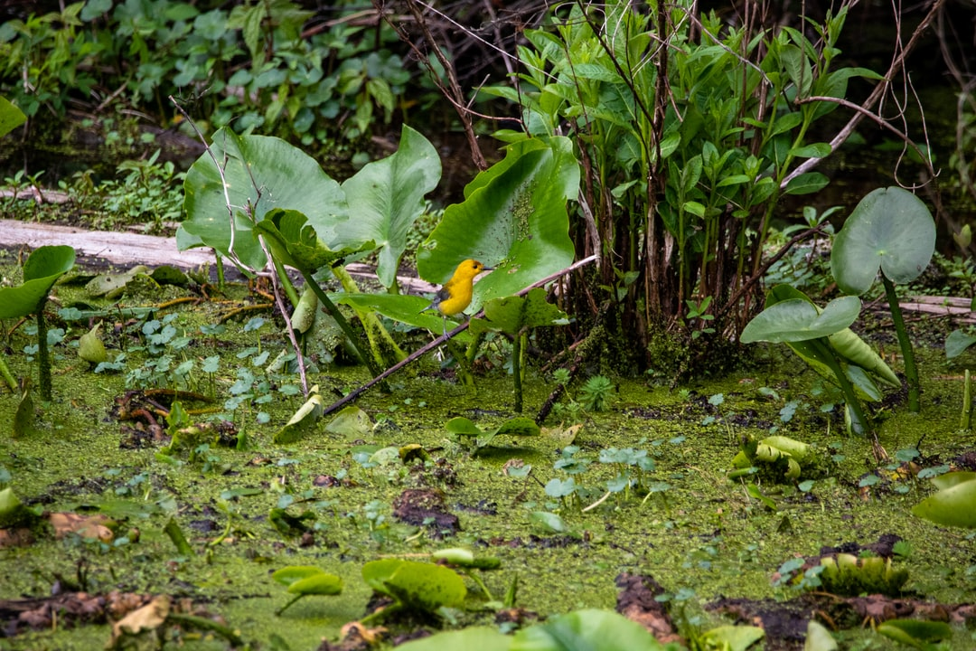 A prothonotary warbler sitting in the lush swamp grasses at the edge of Reelfoot Lake.