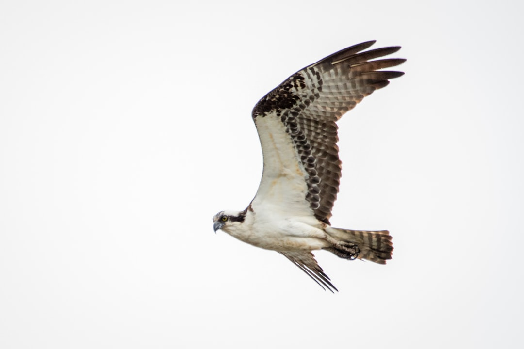 An osprey soaring overhead looking for fish.