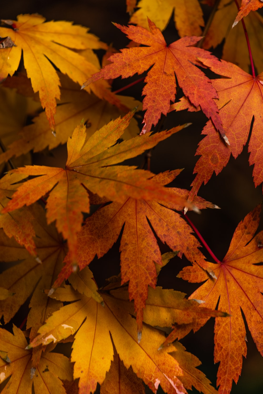 brown maple leaves in close up photography