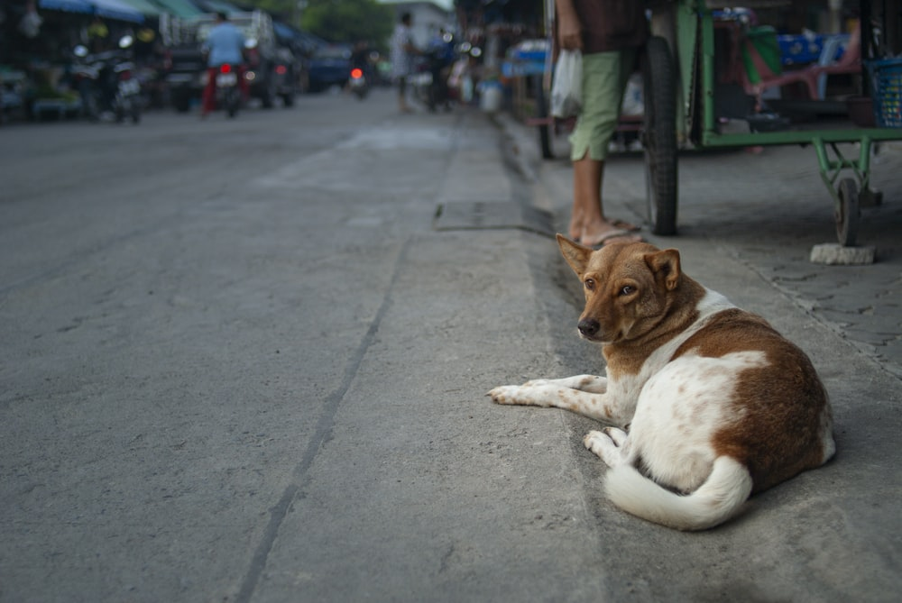 brown and white short coated medium sized dog lying on gray concrete floor during daytime