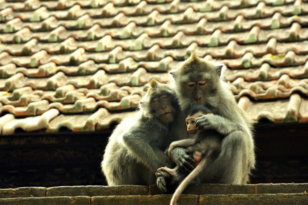 gray monkey sitting on roof during daytime