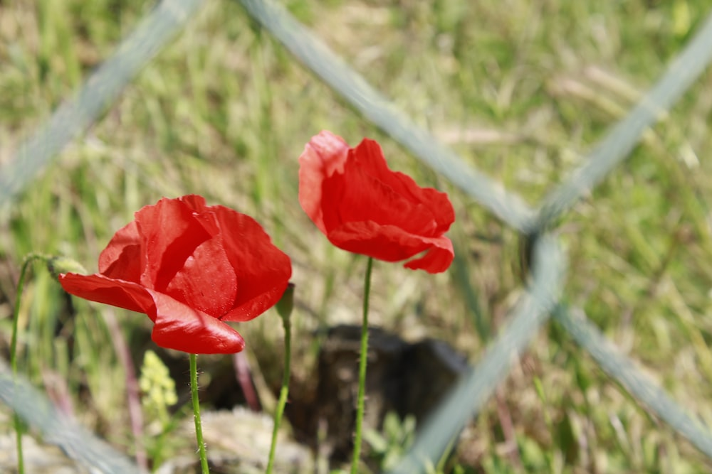 red flower beside gray chain link fence