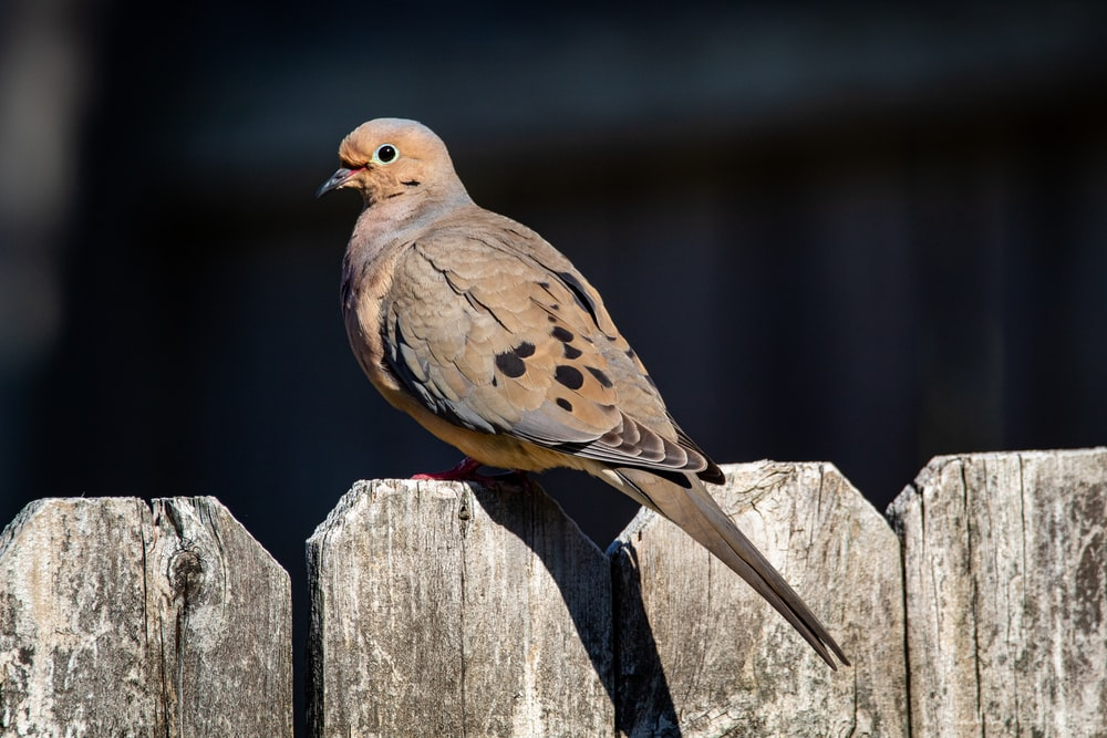 brown bird on gray wooden fence
