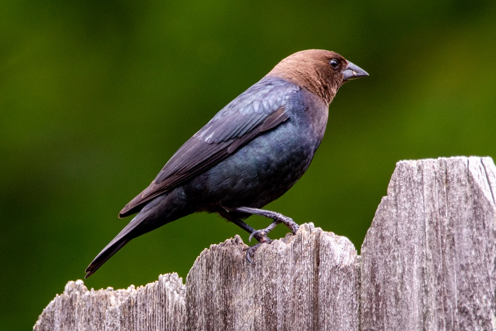 blue and brown bird on brown wooden fence