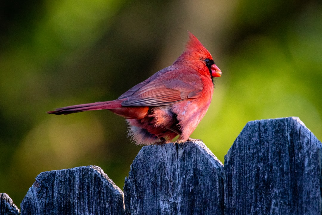 A male cardinal perched on the fence in my backyard.