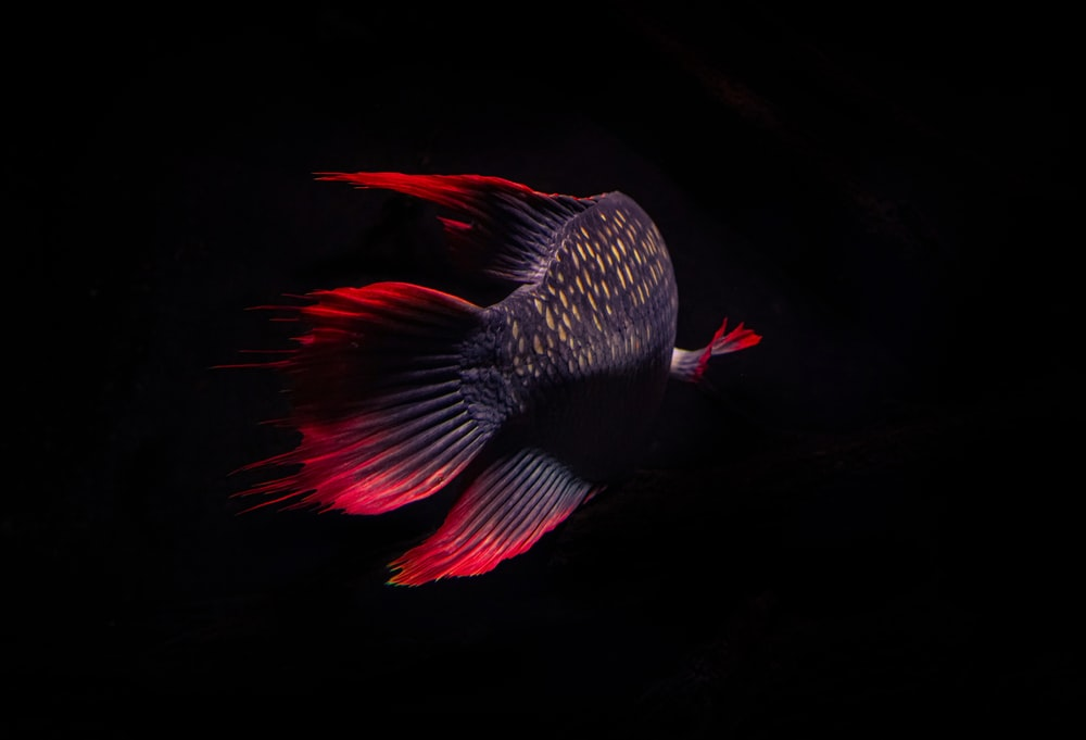 red and black bird with wings