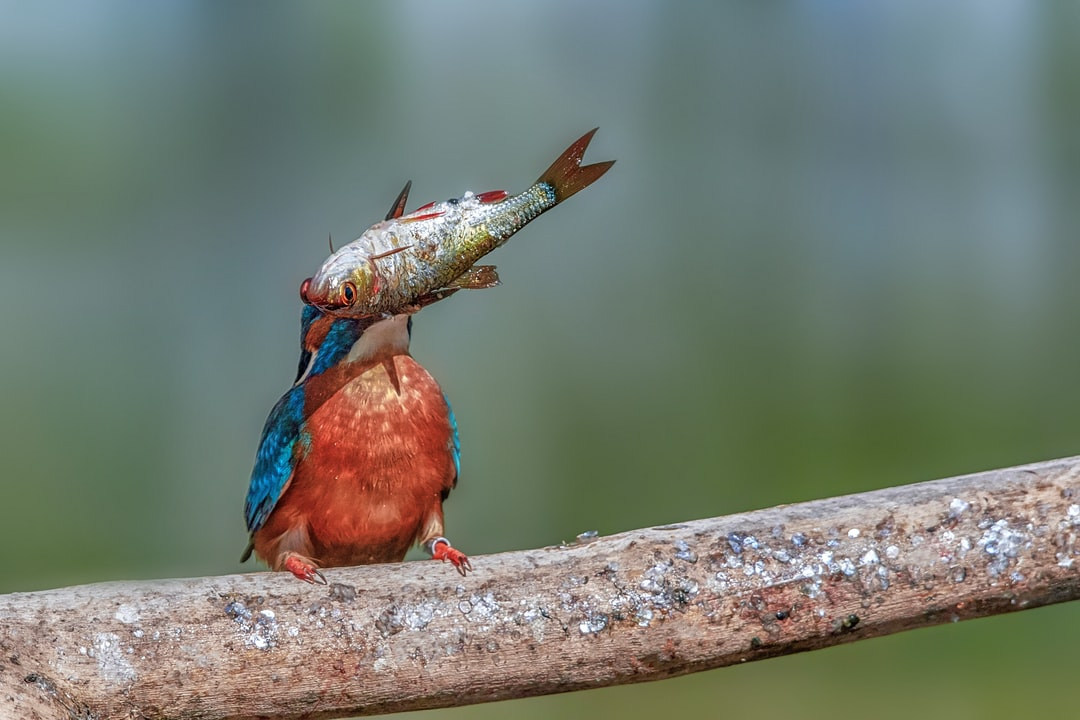 kingfisher juggles with prey
