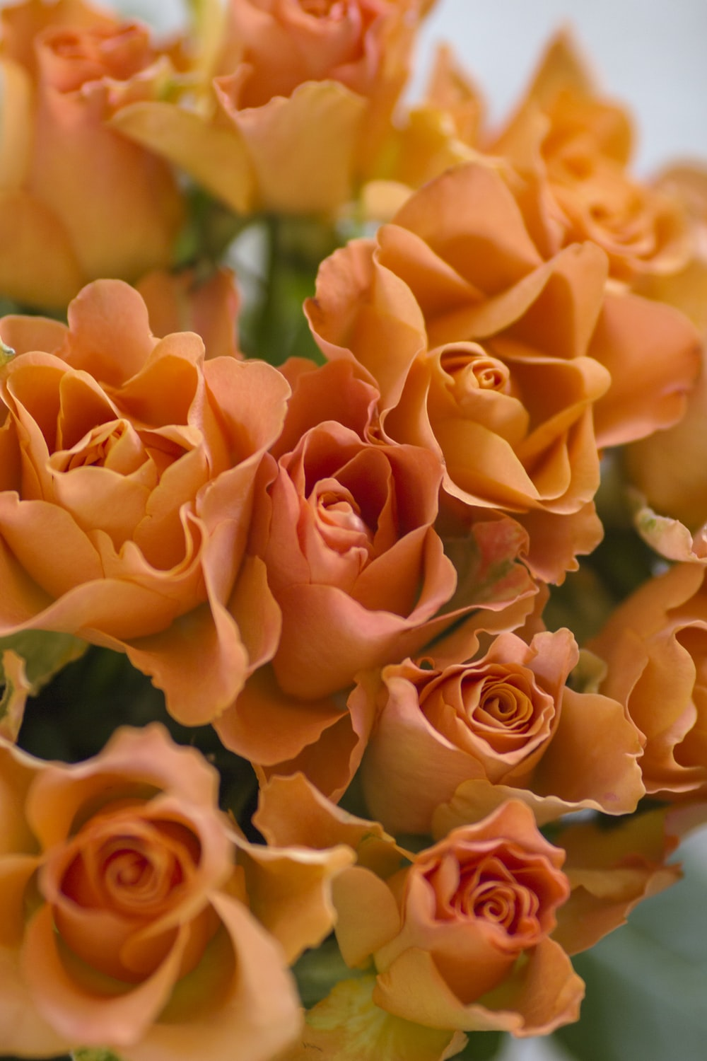 orange roses in close up photography