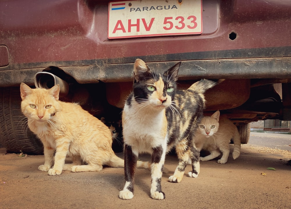 orange tabby cat and black and white cat on red car