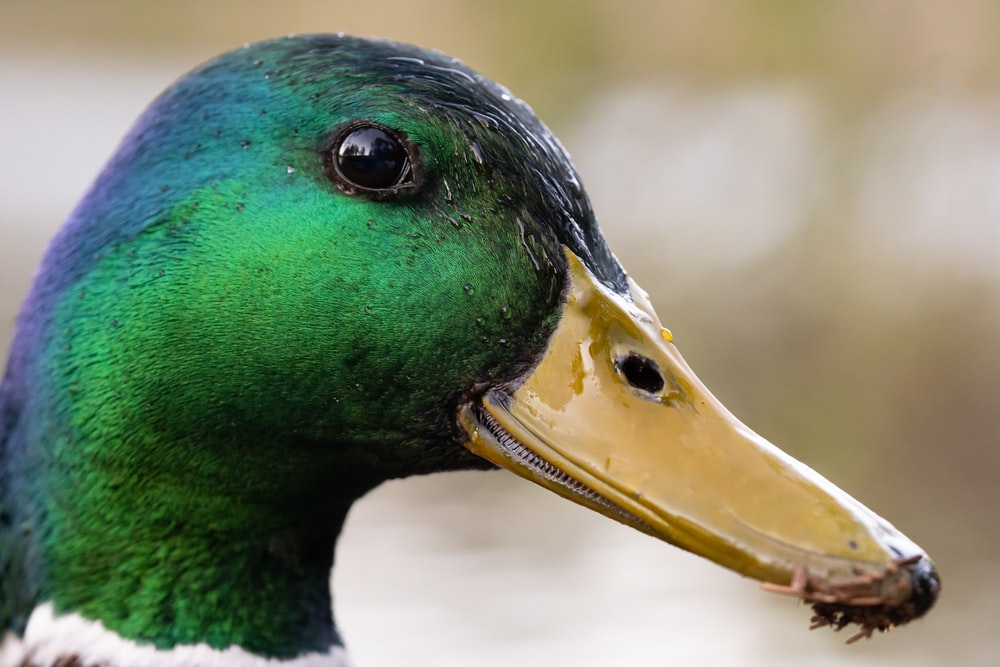 green and brown mallard duck