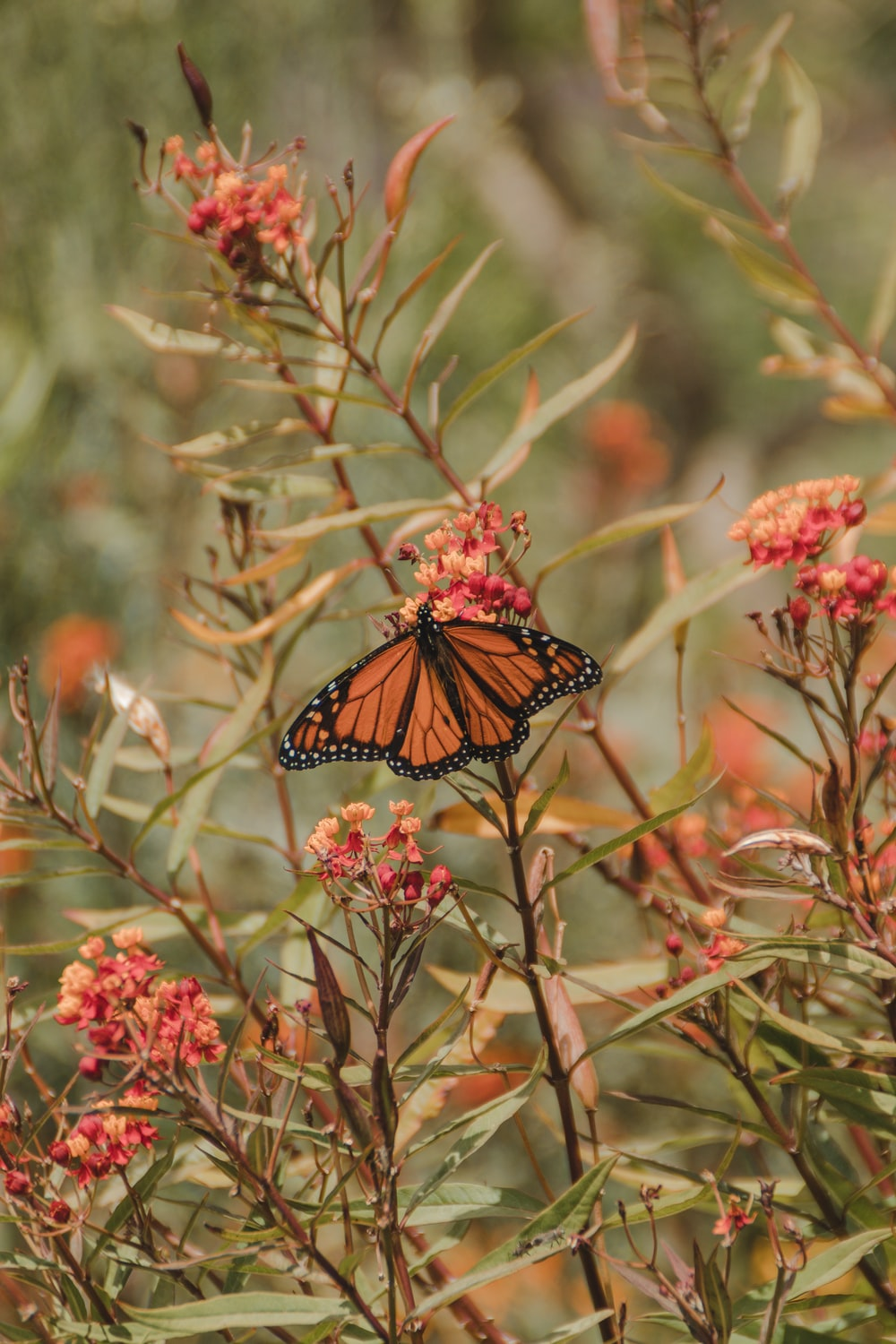 monarch butterfly perched on pink flower in close up photography during daytime