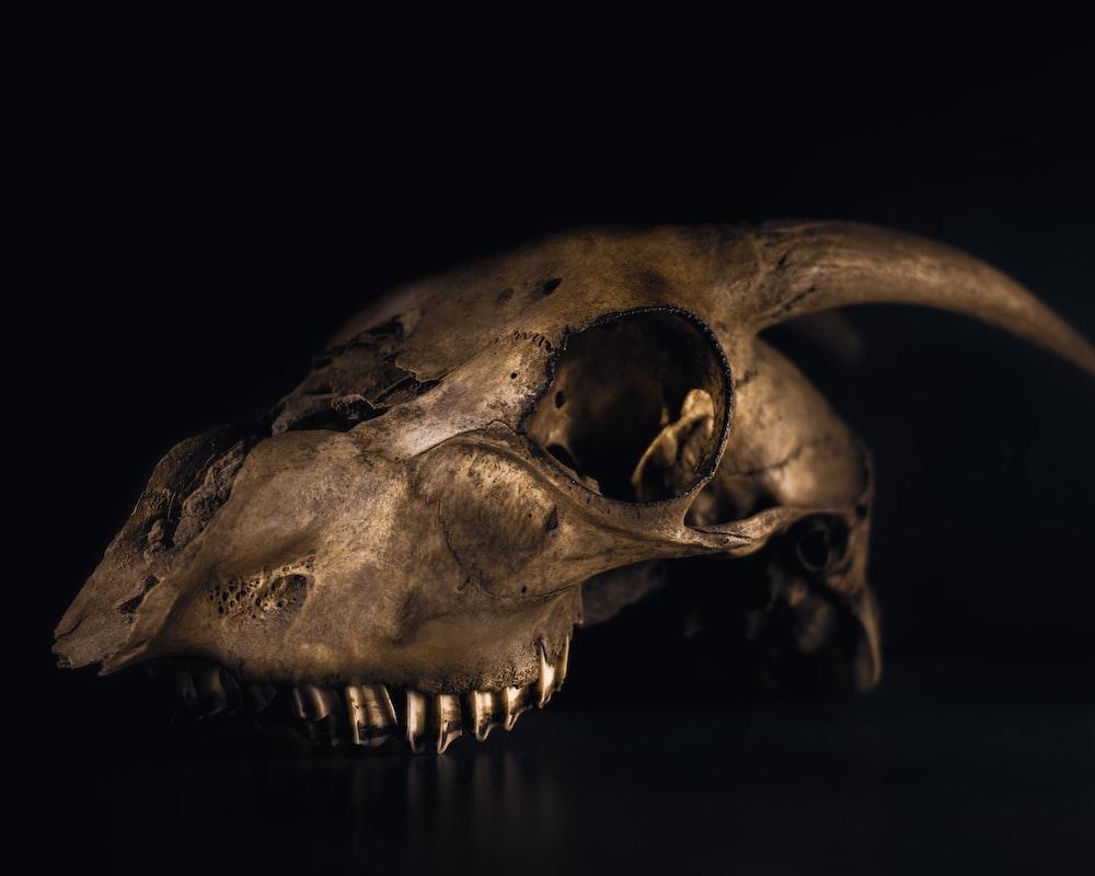 grey animal skull with black background