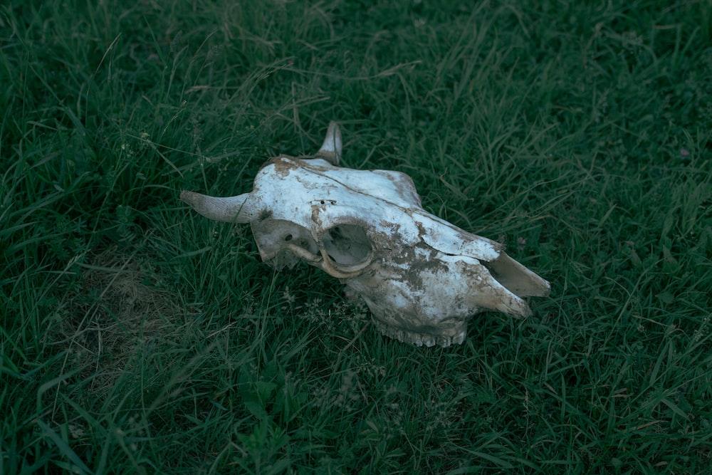 white animal skull on green grass