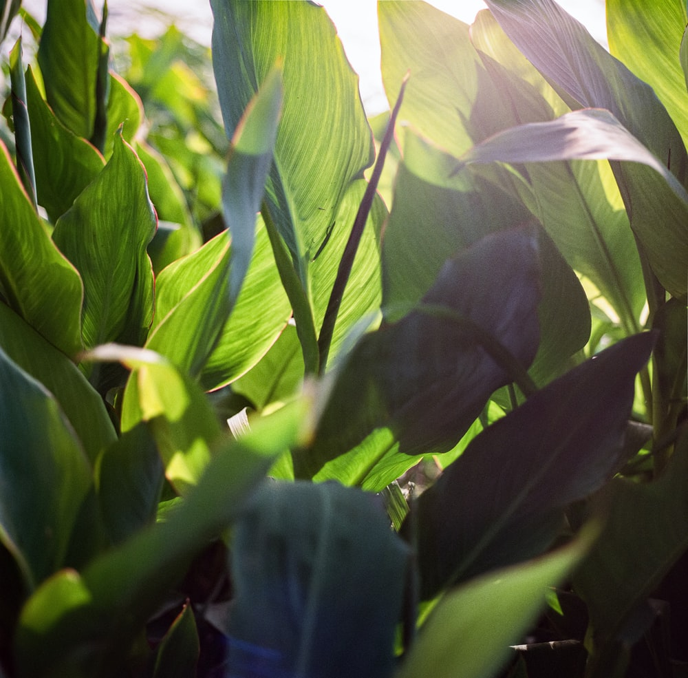 green corn plant during daytime
