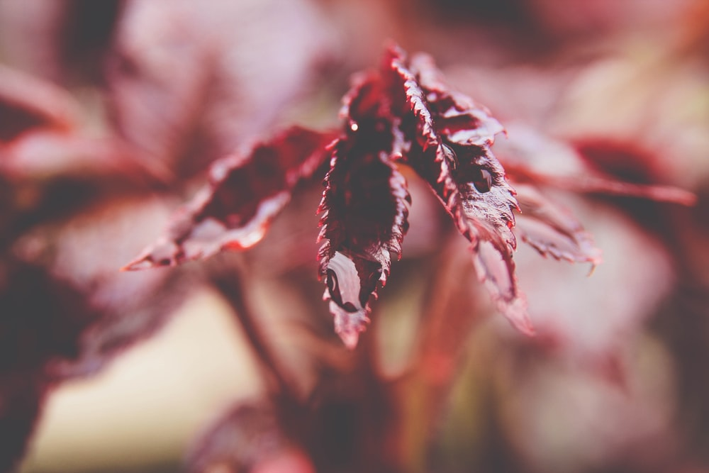 red and black leaf in close up photography