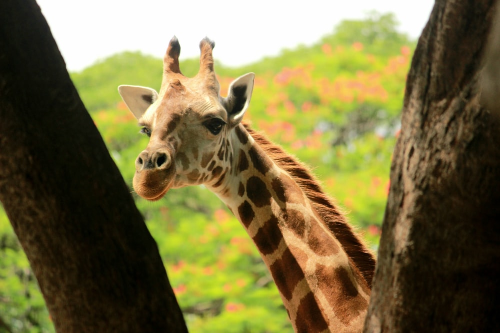 brown and white giraffe standing beside brown tree