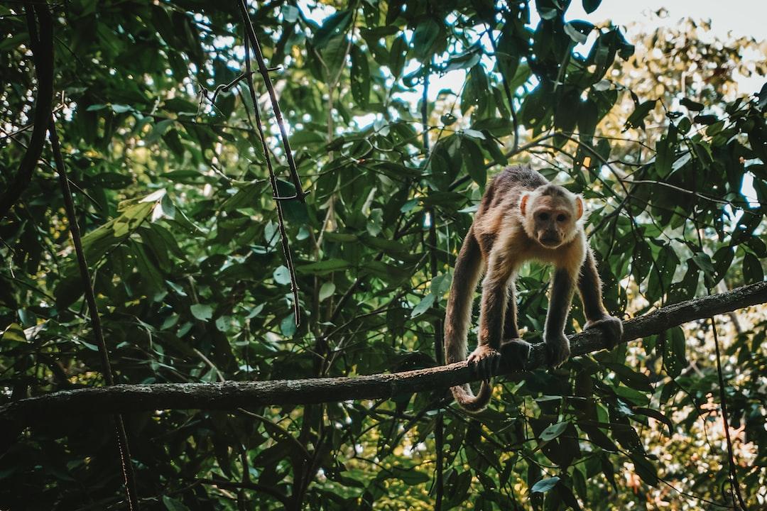 White fronted capuchin monkey, Tayrona National Park, Colombia