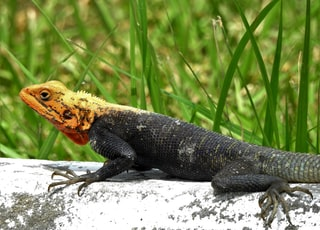 black and brown lizard on white rock
