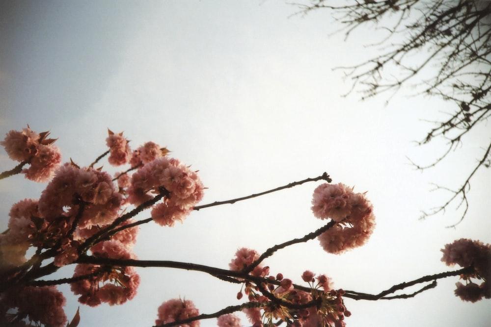 pink cherry blossom tree under white sky