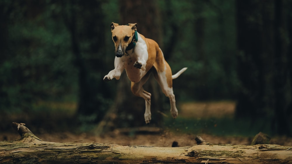 white and brown short coated dog running on brown wooden log during daytime