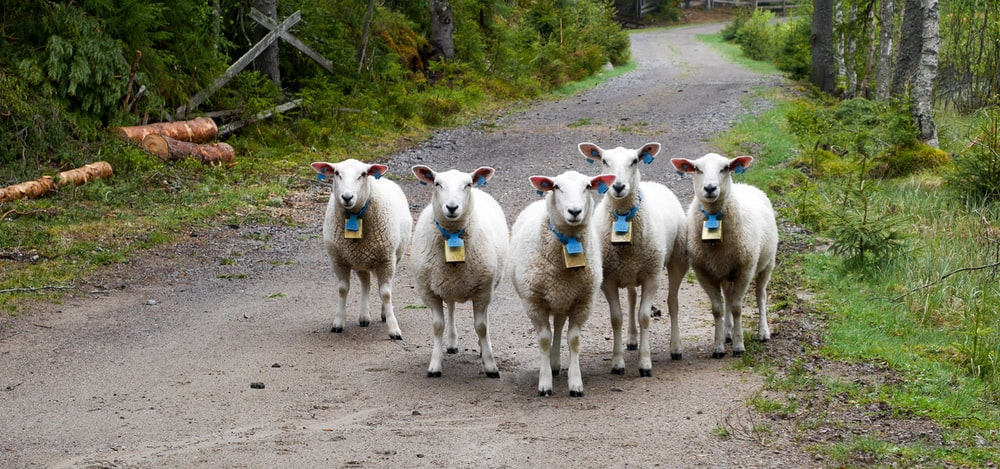 herd of sheep on brown dirt road during daytime