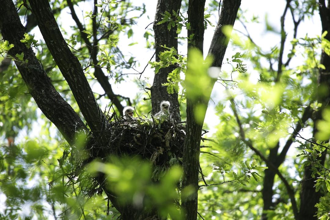 Eagle chicks in nest (Aquila Clanga Pomarina). Comana, Romania, Southeastern Europe (SEE).