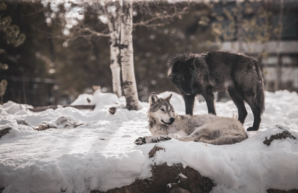 brown and black wolf on snow covered ground during daytime