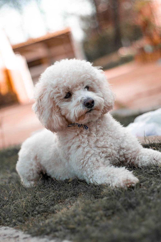 white poodle puppy on black textile