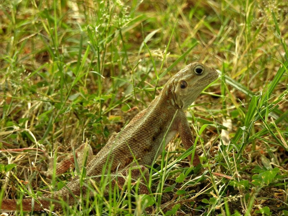 brown lizard on green grass during daytime
