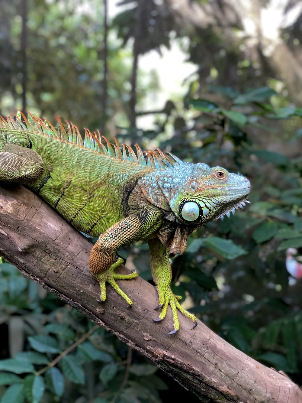 green and brown iguana on brown tree branch during daytime