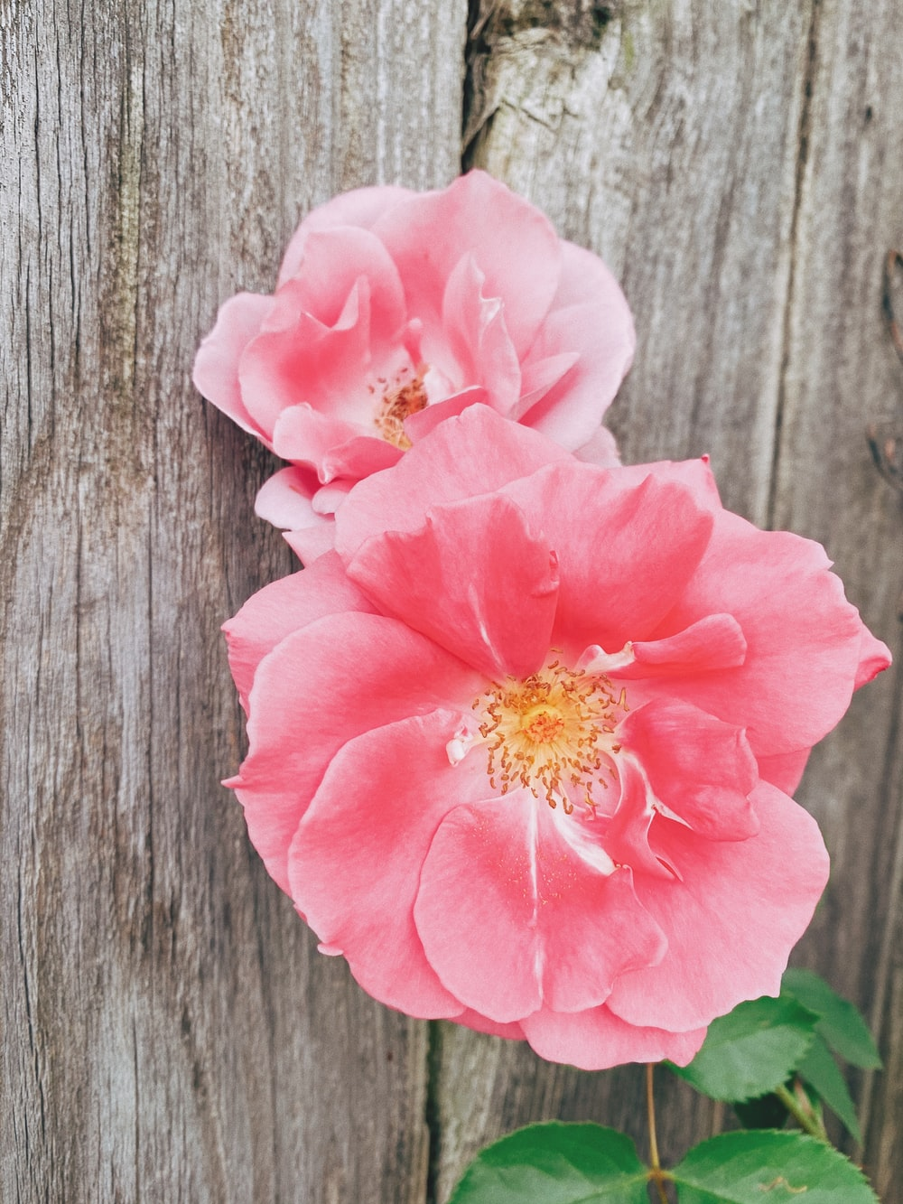 pink flower on gray wooden surface
