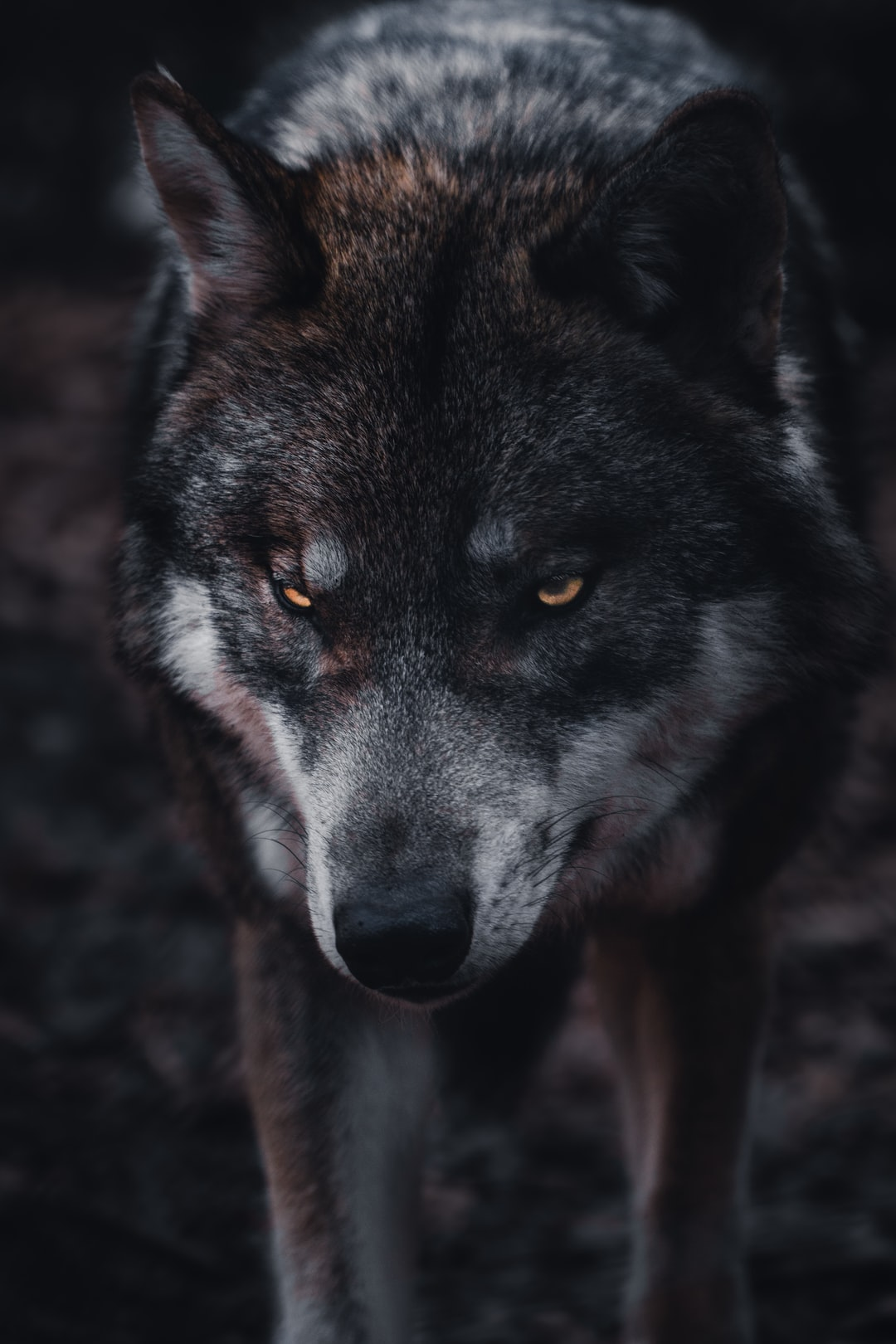 moody wolf face