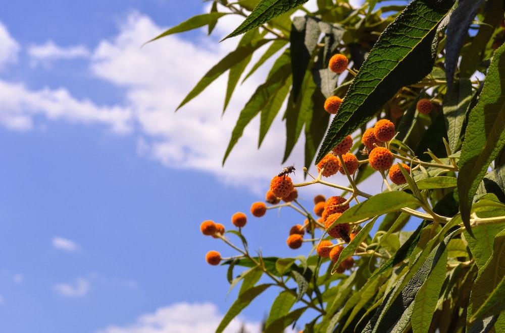 orange round fruits on green tree during daytime