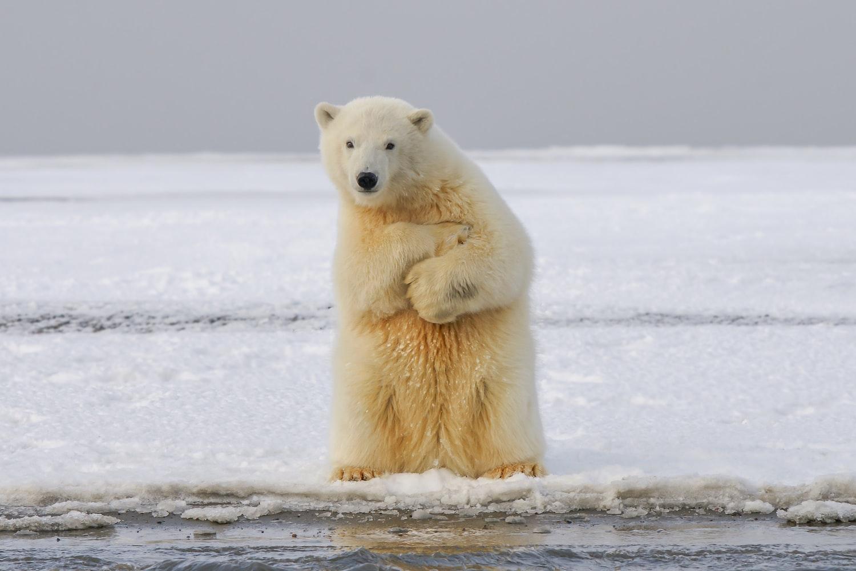 cerita-beruang-kutub