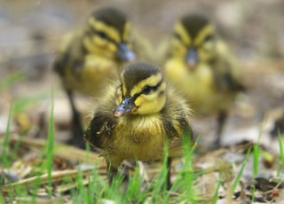 Watch out ... the gang of three coming! Mallard Duck Chicks on exploration.