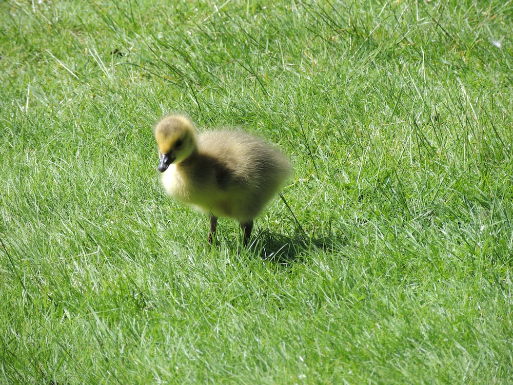 yellow duckling on green grass field during daytime