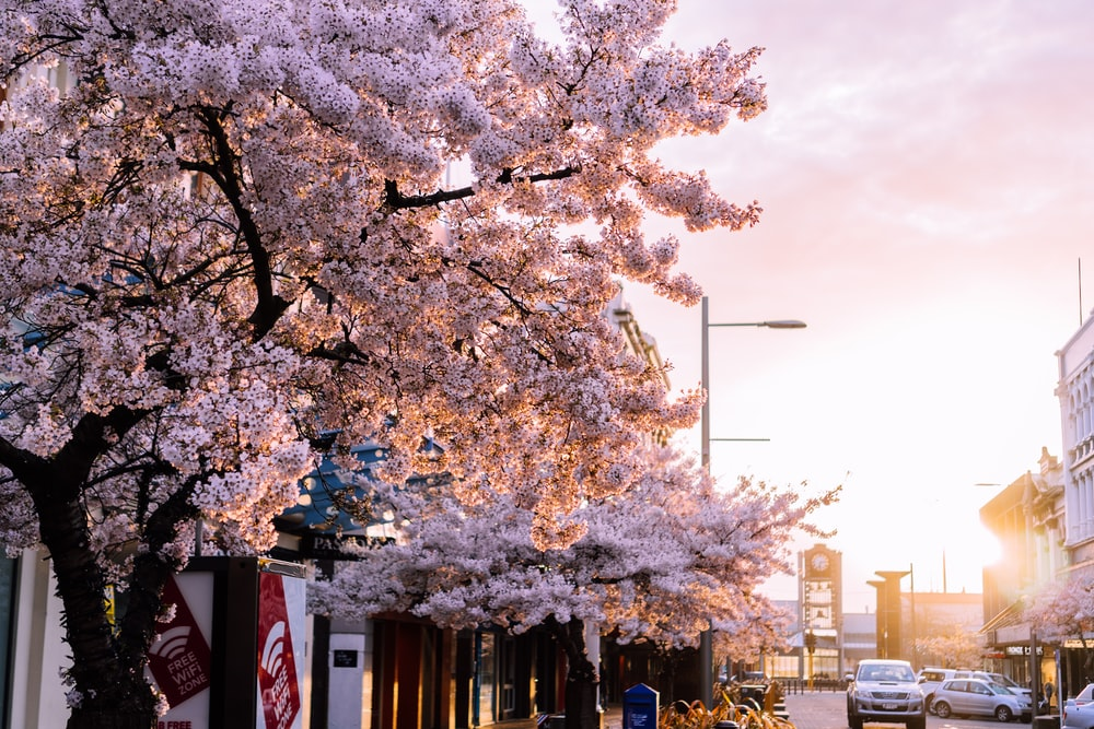 white cherry blossom tree near building during daytime