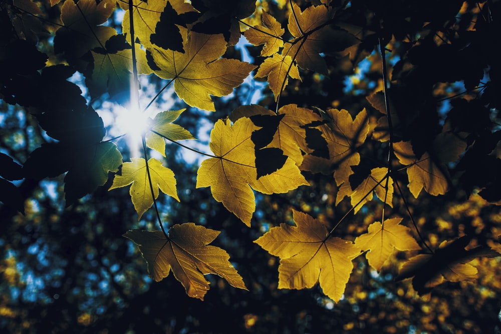 yellow maple leaves during daytime