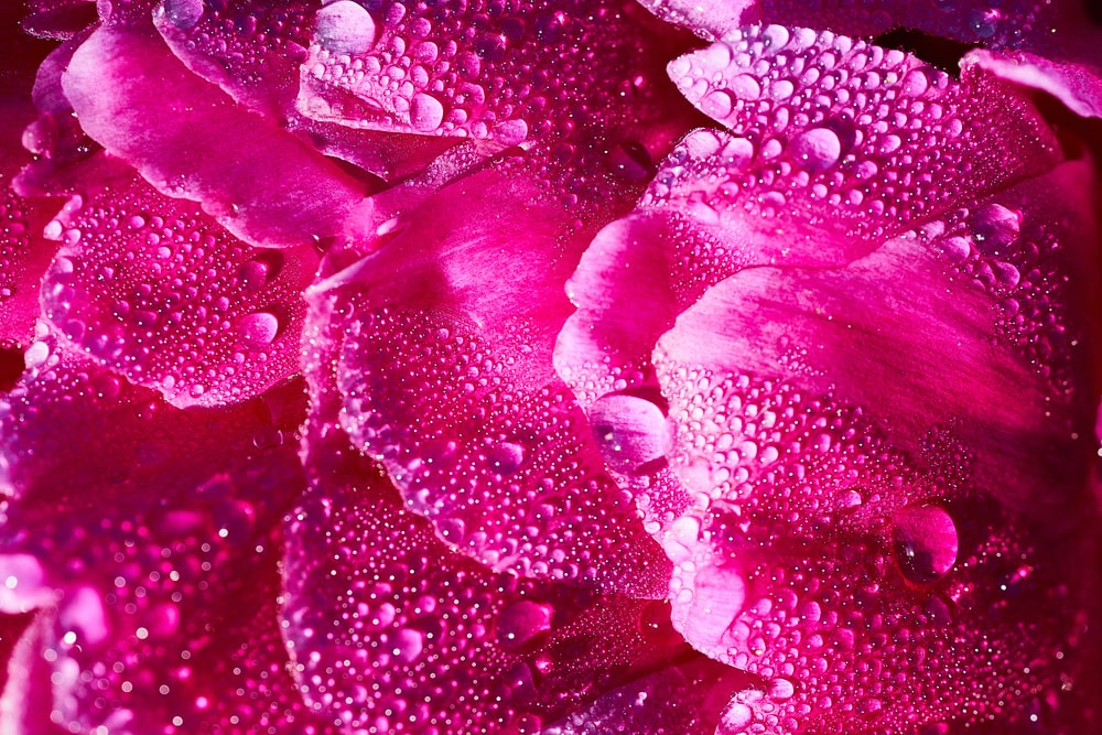 water droplets on pink flower petals