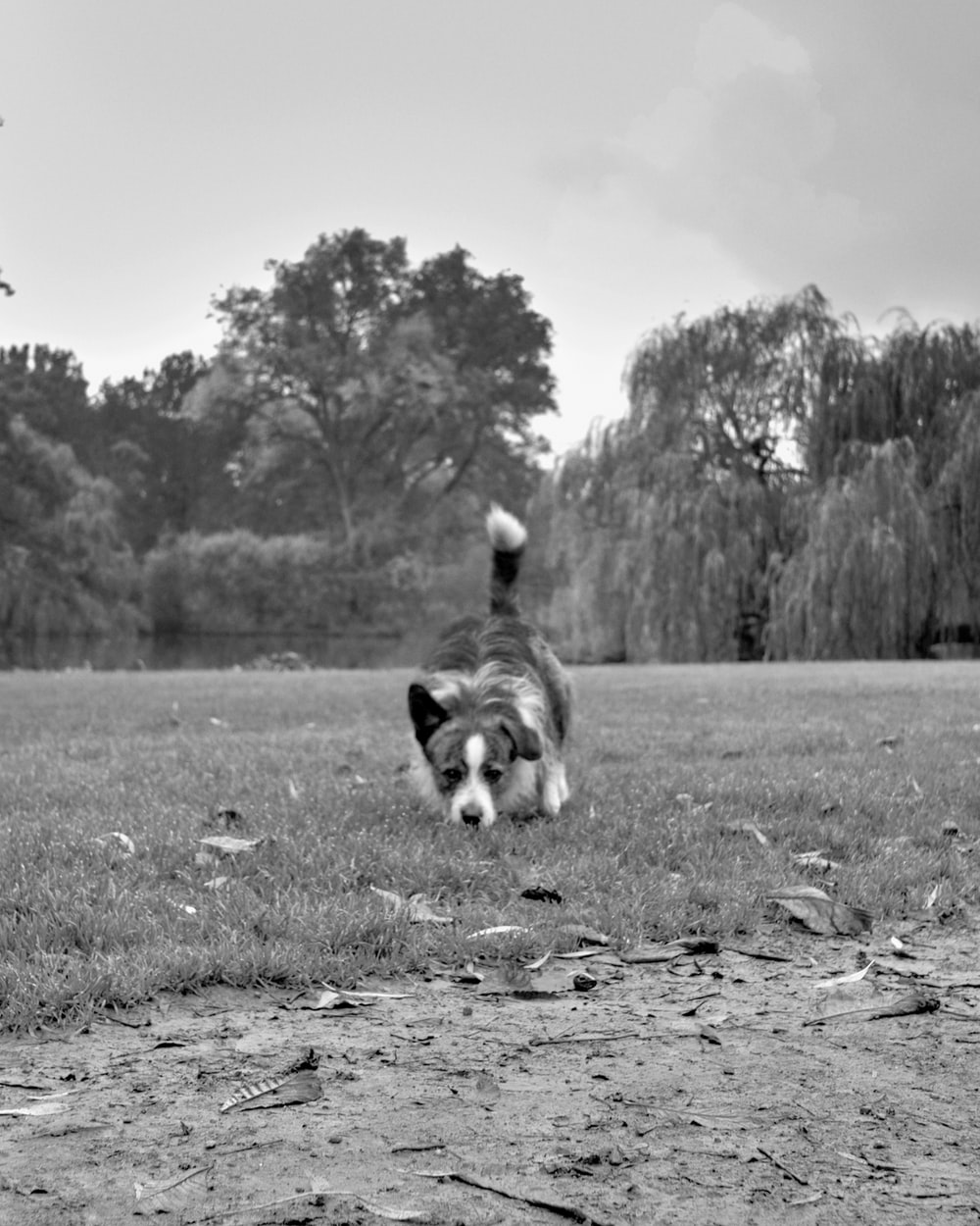 grayscale photo of long coated dog running on grass field