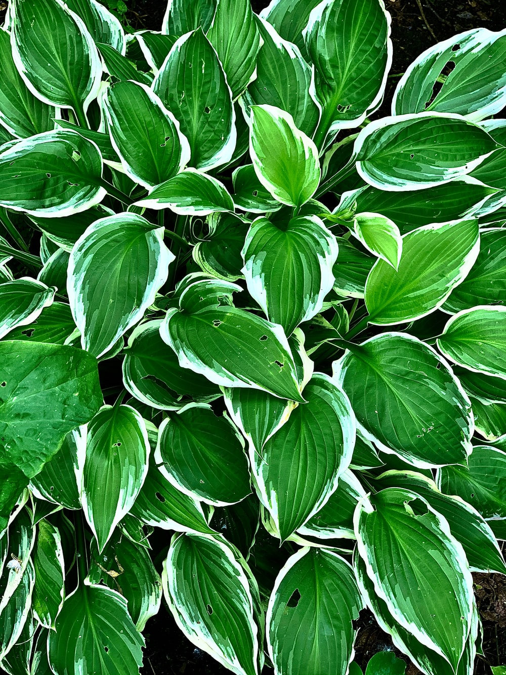 green and white leaves plant