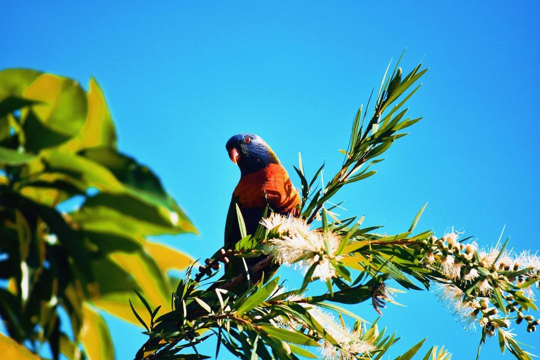 Rainbow Parakeet on a Bottle-Brush Tree in Sunshine Coast, Queensland, Australia.